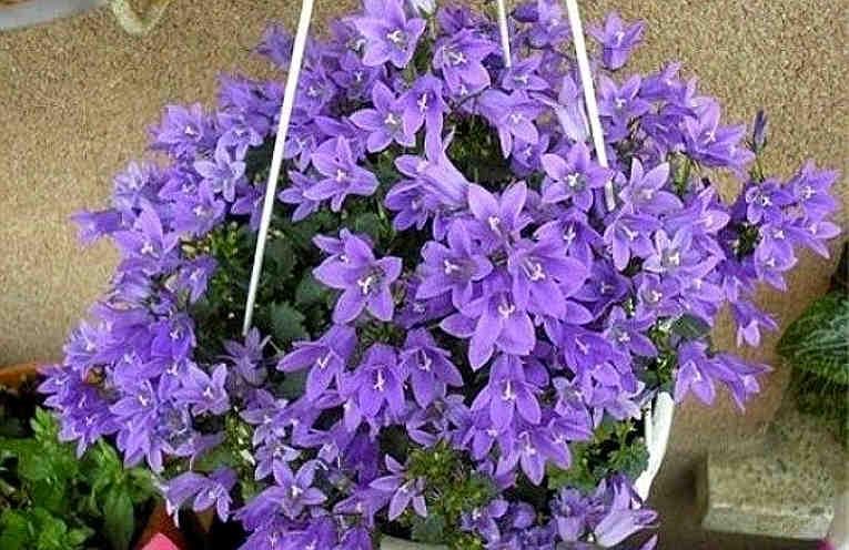 Фото комнатный цветок кампанула